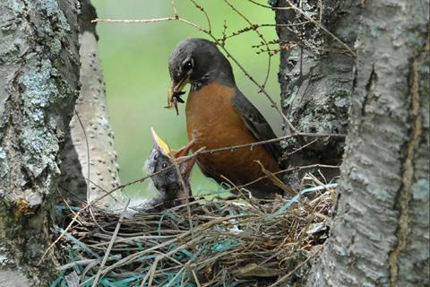 A robin feeding two little birds in a nest