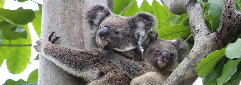 Help save koalas this breeding season