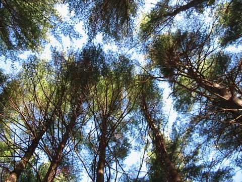 evergreen tree canopy