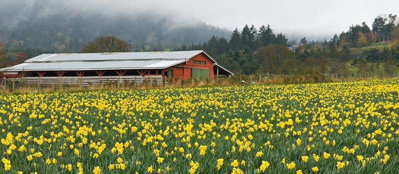 Daffodils blossom in April in Central Saanich, B.C.