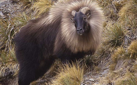 Tahr in it's winter coat.