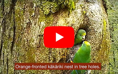 Orange fronted kākāriki video.