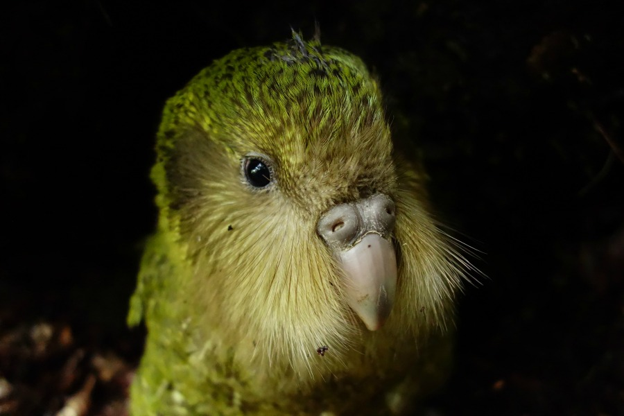 2016 kākāpō chick Tuterangi Photo by Liam Bolitho