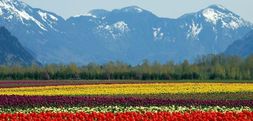 A picture of a Tulip Field from Fraser Valley's Tulips of the Valley Tulip Festival