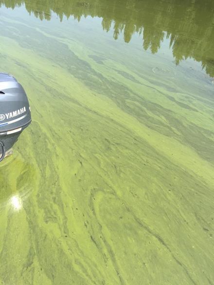 Toxic blue-green algae bloom
