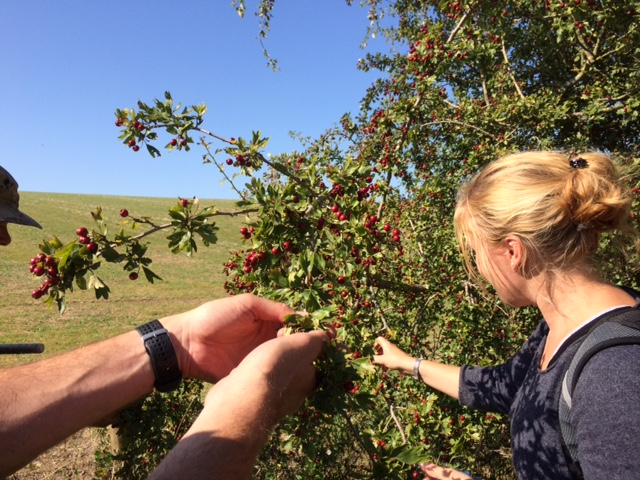Gathering hawthorn berries for fruit leather