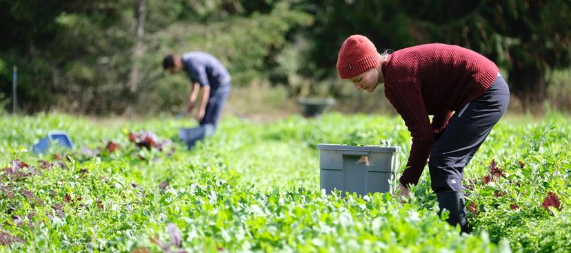 Farm workers in B.C. harvest greens.