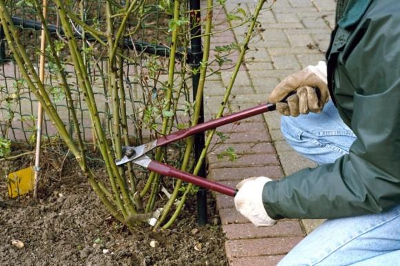 Pruning rose bush