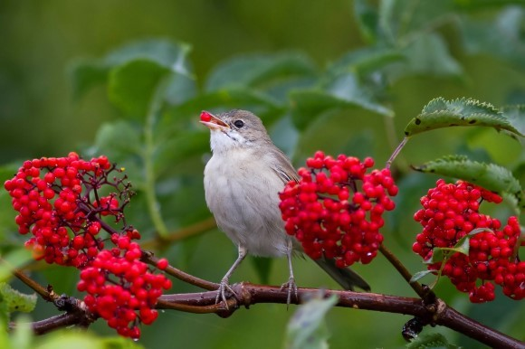 Bird with red berry