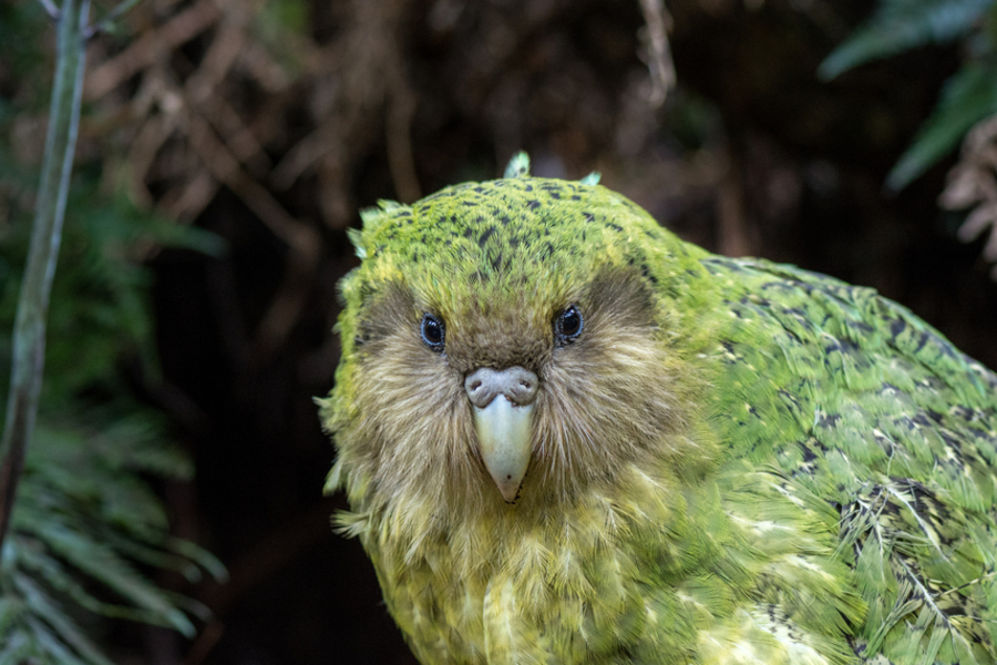 kākāpō Sinbad. Photo by Jake Osborne