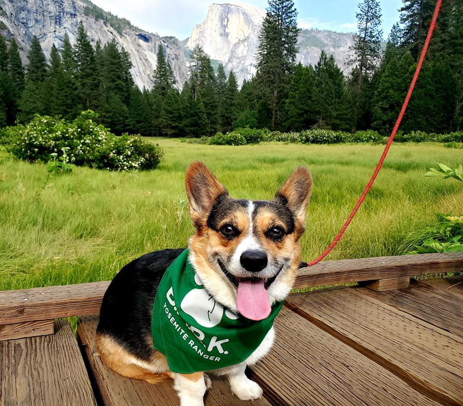 A close-up shot of a small corgi dog sporting a green B.A.R.K. bandana, standing on a boardwalk in Yosemite Valley with Half Dome and a vibrant green meadow visible in the background.