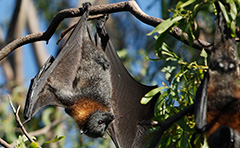 Flying fox roosting in tree