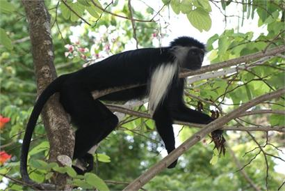 Male Angolan colobus monkey, a locally threatened species in Diani, Kenya