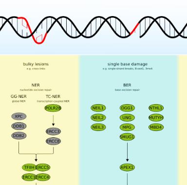 http://www.antikoerper-online.de/pathway/DNA-Damage-Repair-28/