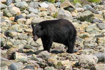 VAncouver Island Bear