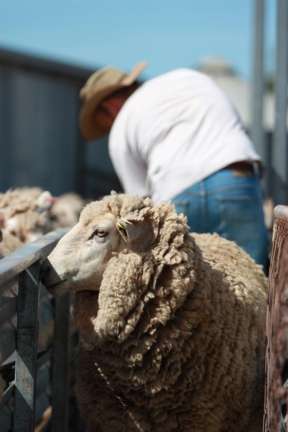 Sheep drenching