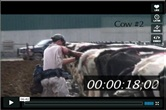 Video: Pregnancy check 19 cows in 6 minutes!