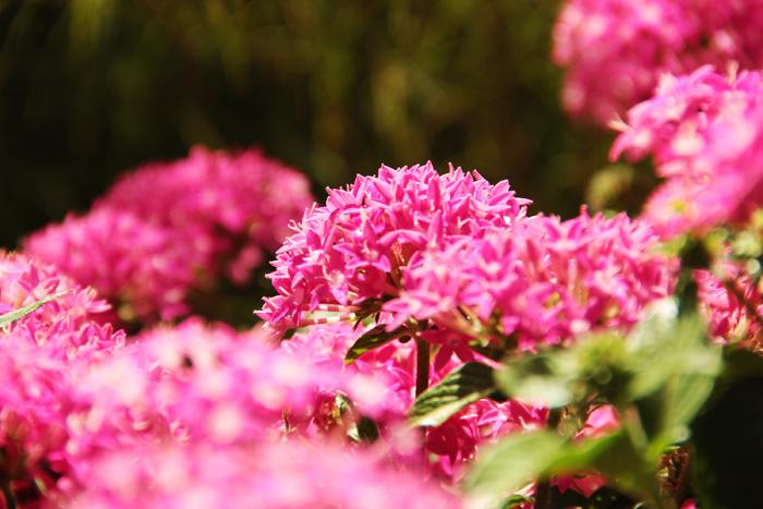 Pink Pentas