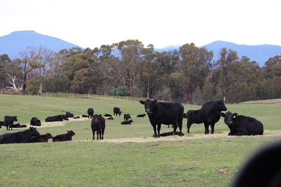 Cows feeding out