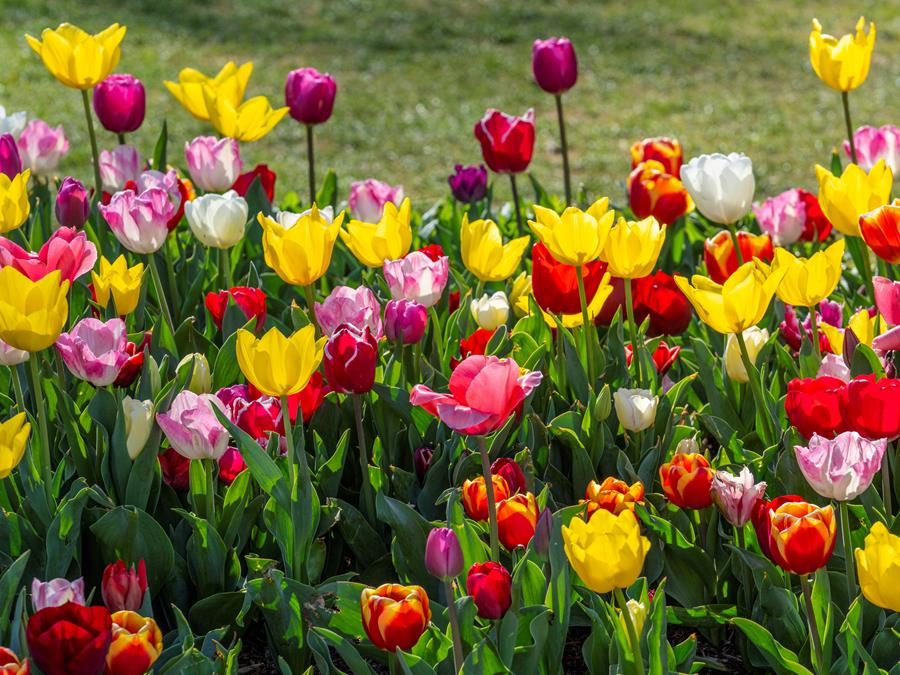 Tulips at Tulip Time in Bowral