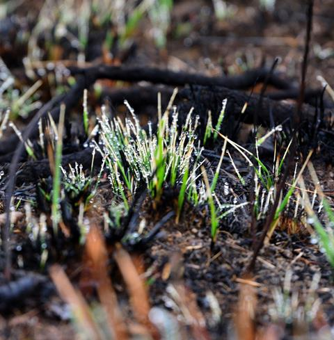 Grass regrowing after a bushfire