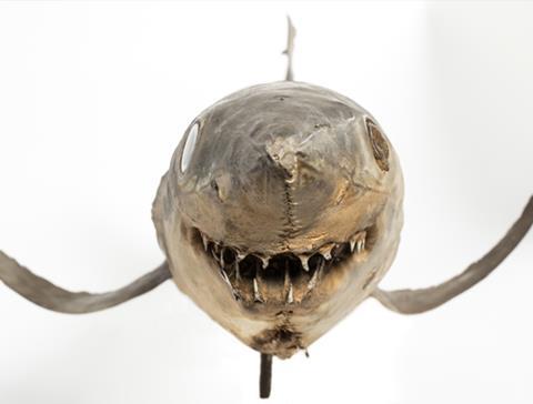 Taxidermy mako shark