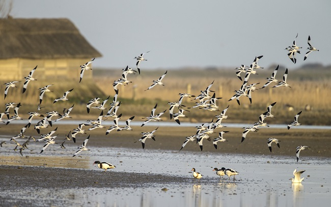 Waders diving at Cley Nature Reserve