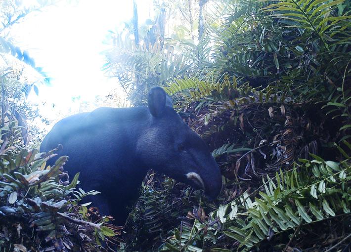 Mountain Tapir. © Fundación Jocotoco.