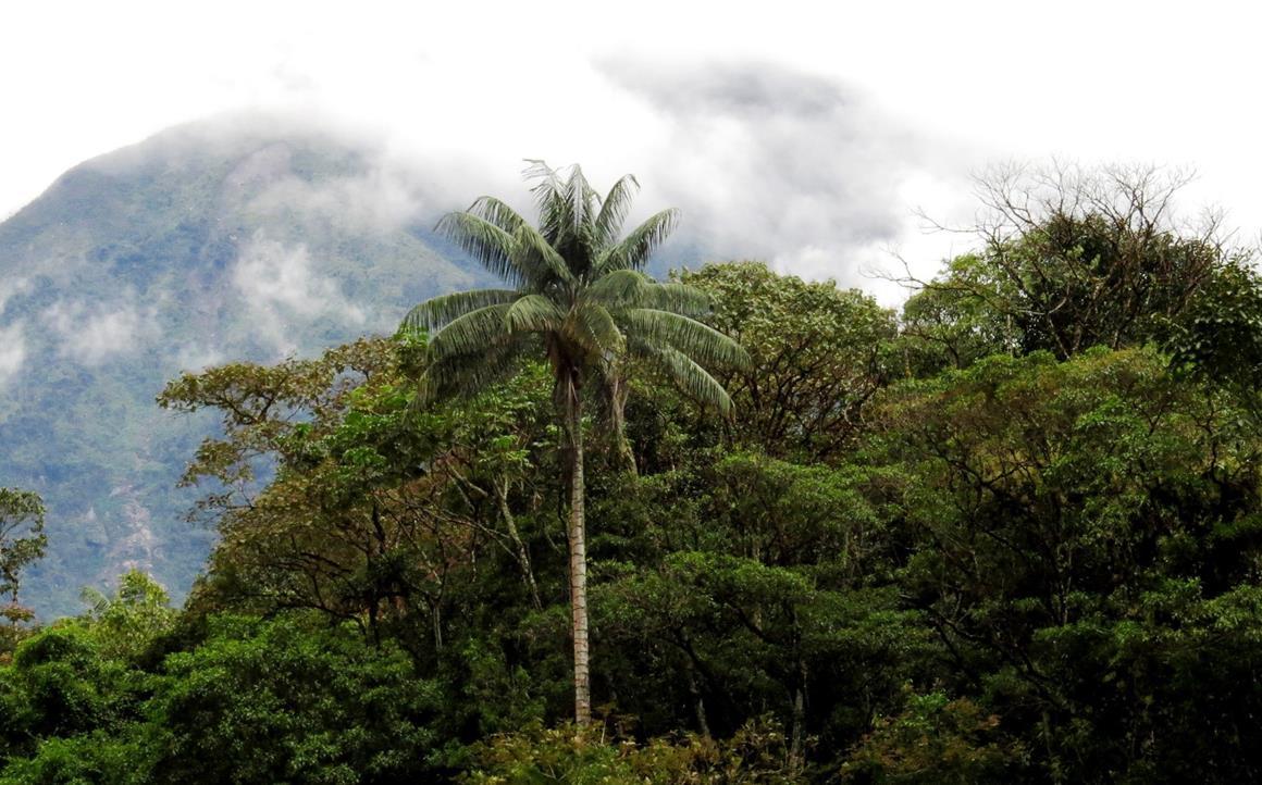 Palms at Segunda y Cajas ACP. © Naturaleza y Cultura Peru.