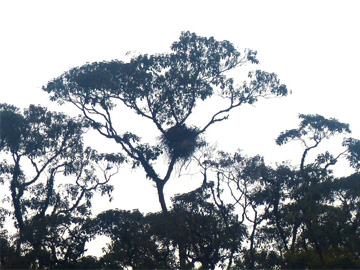 The Black-and-chestnut Eagle nest in the Rio Zuñac reserve. © Fundación Ecominga.