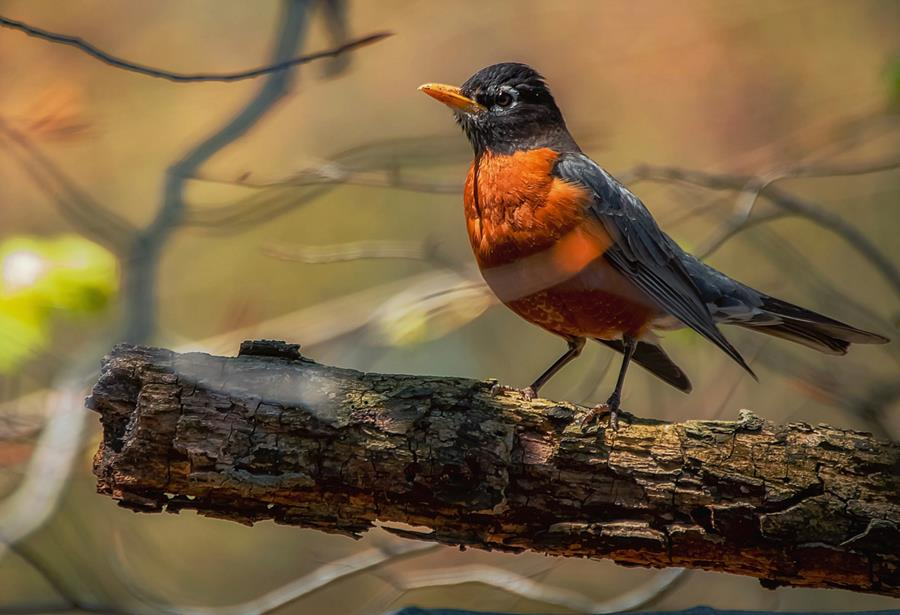 Photo of a robin.