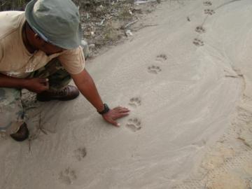 Jaguar foot prints in the sand. © Sarah and Cory Nash