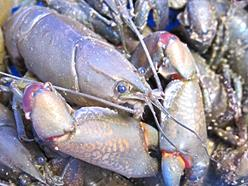 Close up of a large yabby