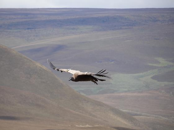Andean Condor (juvenile) in flight over Antisanilla. © Fundación Jocotoco.