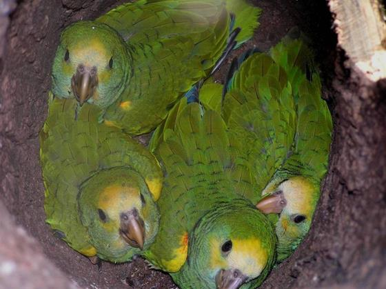 Yellow-shouldered Parrot chicks. © Asociación Civil Provita.