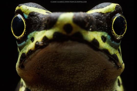 Atelopus Wampucrum. © TropicalHerping.com