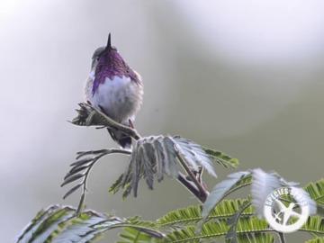 Bumblebee Hummingbird. © WLT.