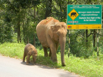 Elephant and calf. © WTI.