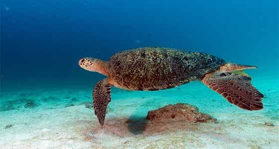 Turtle in the seas near Borneo