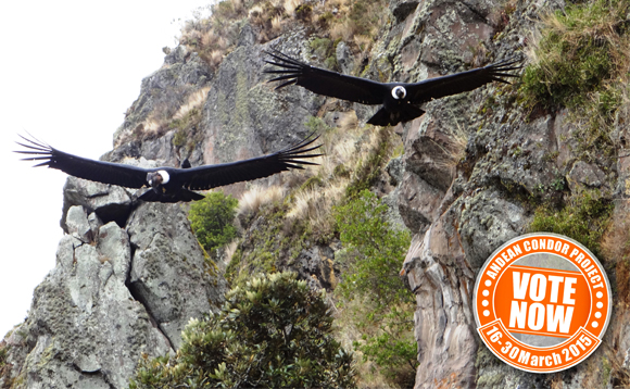Andean Condors in Antisanilla Biological Reserve. © Francisco Sornoza.
