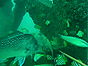 A pink snapper and other smaller fish swimmign around an artificial reef