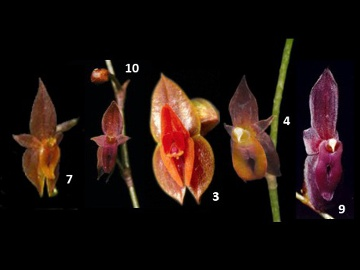 Orchids still to be named. © Lou Jost.