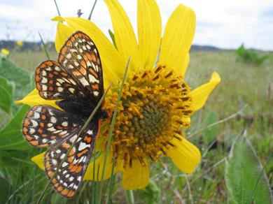 The Taylor's checkerspot butterfly, recently listed under the Endangered Species Act. (Credit: Aaron Barna, USFWS)