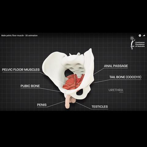 diagram of pelvic floor muscle