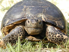 Picture of Gopher Tortoise. Credit: Randy Browning, USFWS