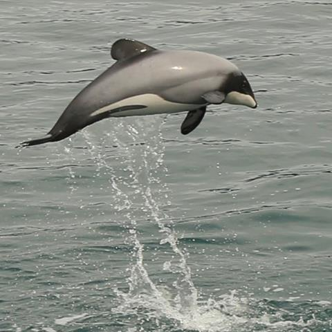 A New Zealand dolphin leaps