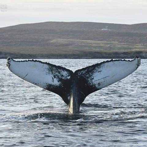 A humpback dives