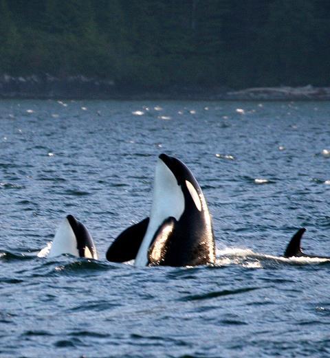 Orcas spyhopping