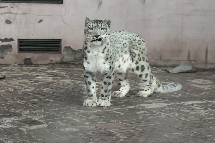 Snow Leopard in Xining zoo on G+