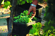 Harvesting grapes in the Margaret River region.